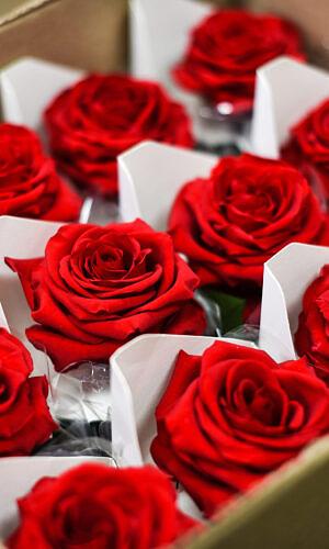 Stabilizuotos rožės