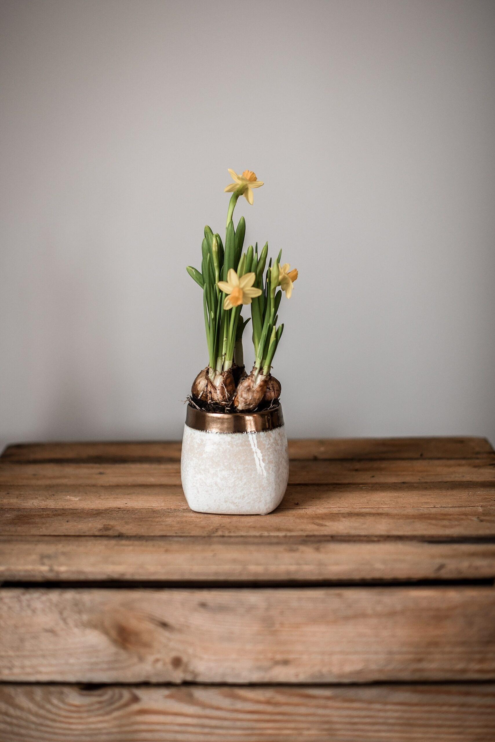 narcizai, pavasario geles, vazonas, vazonas augalui, vazoniniai augalai, geles vilniuje, geles i namus, dovana, happy flowers, narcizai pasipuosti, velyku dekoracija