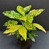 margaspalvis krotonas, krotonas, kambariniai augalai, augalai, geles i namus, augalai vilniuje, kambariniai augalai vilniuje