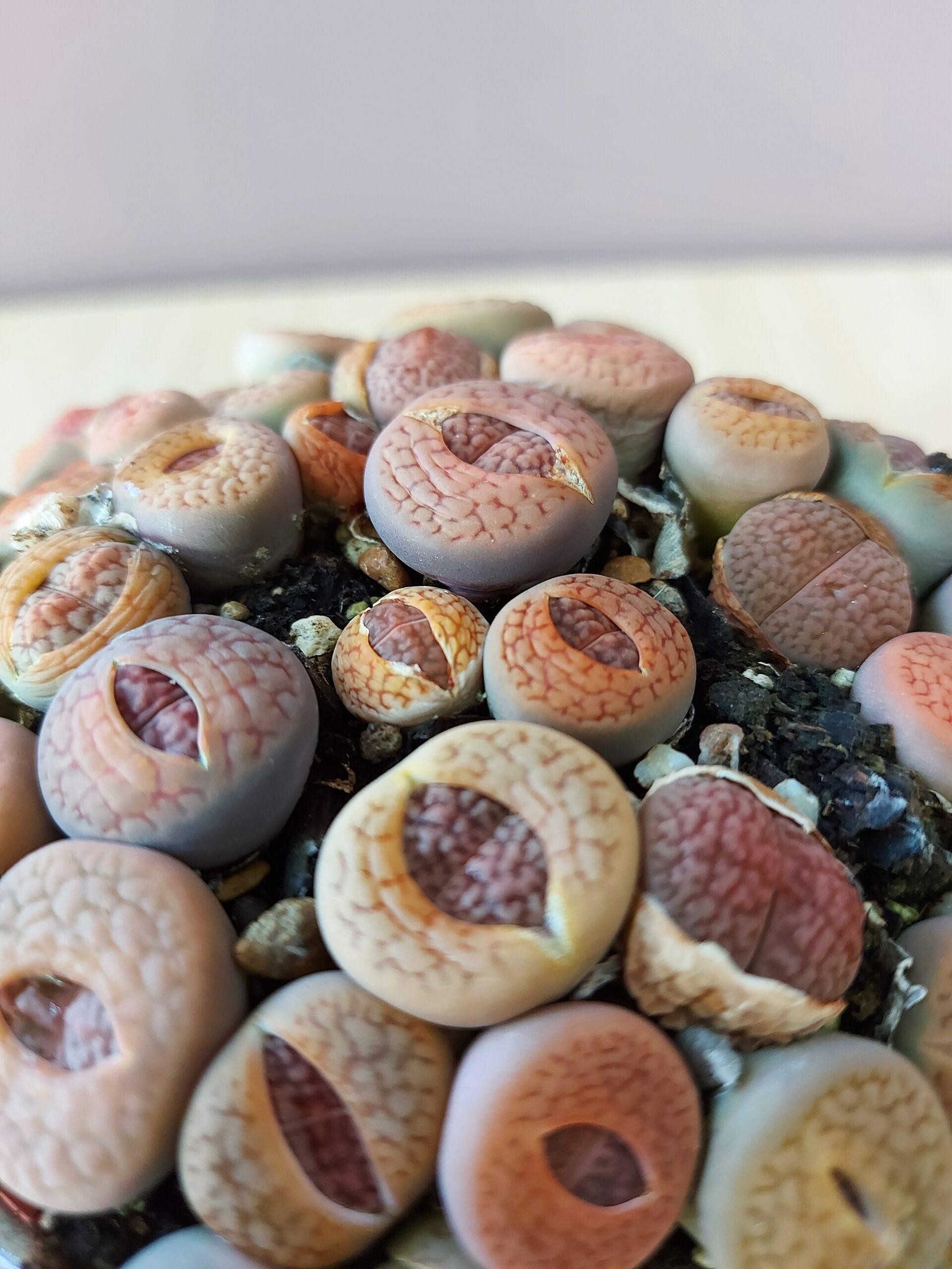 Litopsis, living stone, gyvuojantis akmuo, augalas, sukulentai, sukulentai į namus, augalai vilniuje, augalų parduotuvė, plants, plants shop