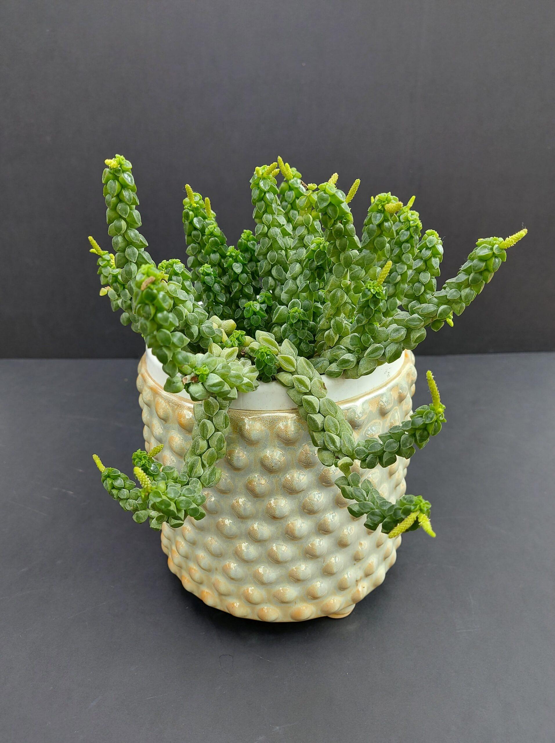 Peperomia Columella, sukulentai, sukulentu kompozicija, sukulentai vilniuje, augalai, augalu parduotuve, augalai vilniuje, sukulentai kaina, geles vilniuje, geles i namus