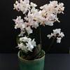orchideja, orchideja little kolibri, phalaenopsis, kambariniai augalai, kambarines geles, zydincios geles, orchidejos, geles i namus, geles vilniuje