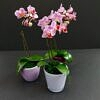 orchideja, phalaenopsis, kambariniai augalai, kambarines geles, zydincios geles, orchidejos, geles i namus, geles vilniuje
