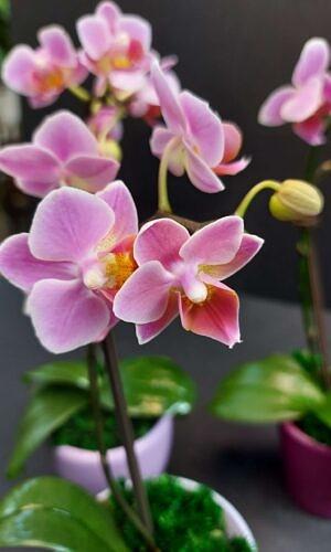 Orchidėja MINI