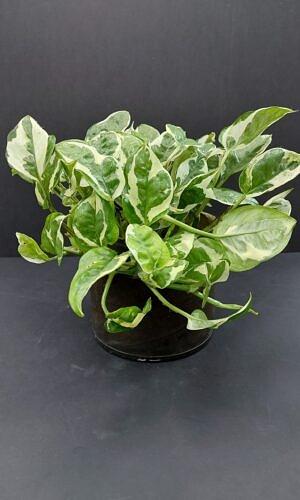 Skindapas (epipremnum aureum)