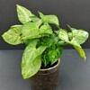 singonis, Syngonium podophyllum, lapinis augalas, reti augalai, kambariniai augalai, augalai vilniuje