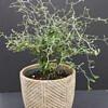 kauleninė korokija, corokia cotoneaster, zigzag augalas, zigzag plant, augalai biurui, augalas ofisui, augalai namams, išskirtiniai augalai ,reti augalai, kambarinės gėlės, kambariniai augalai