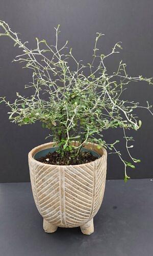 Kauleninė korokija (Corokia cotoneaster)