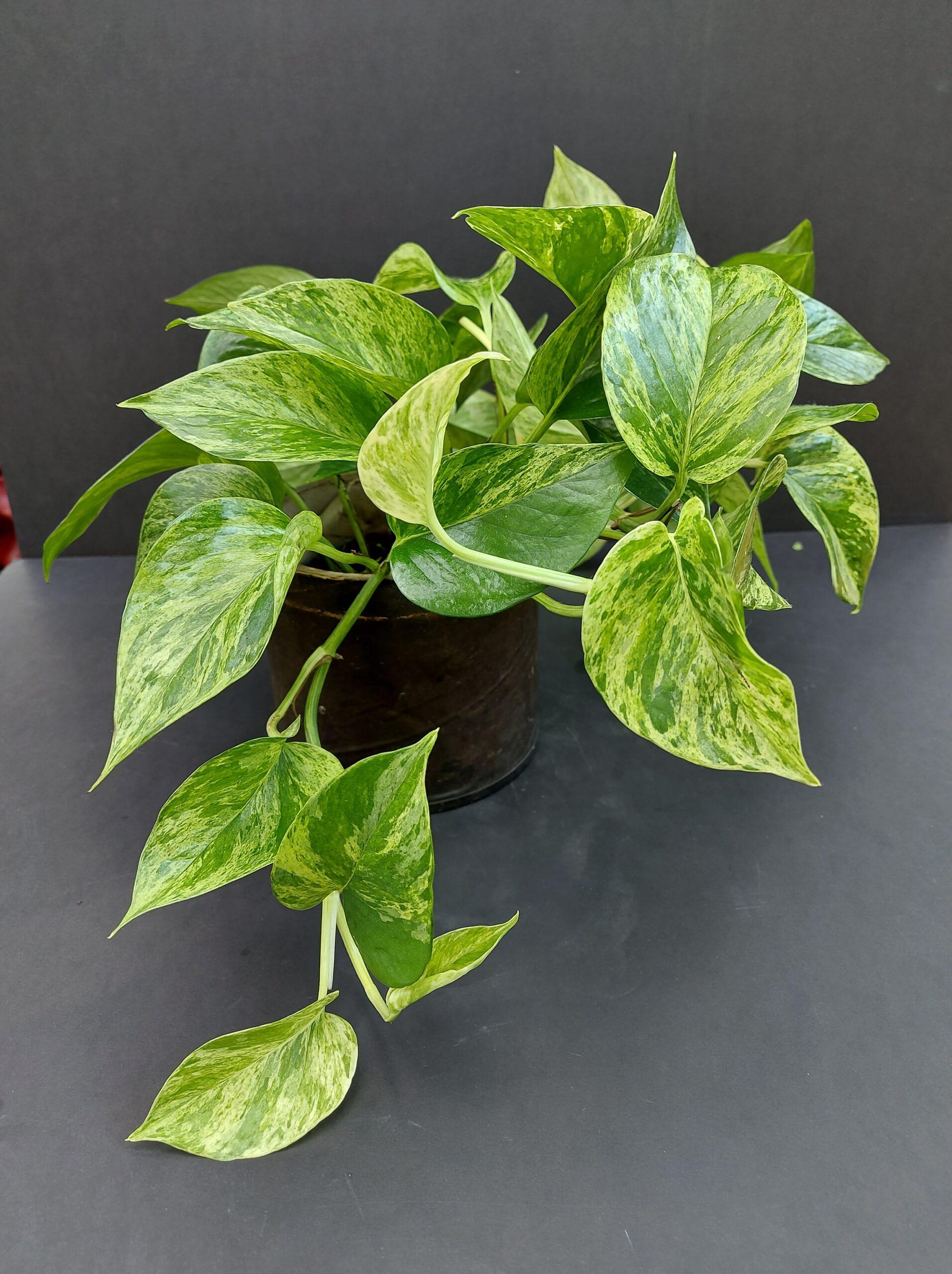 skindapas, epipremnum aureum, kambarinis augalas, kambariniai augalai, augalai vilniuje