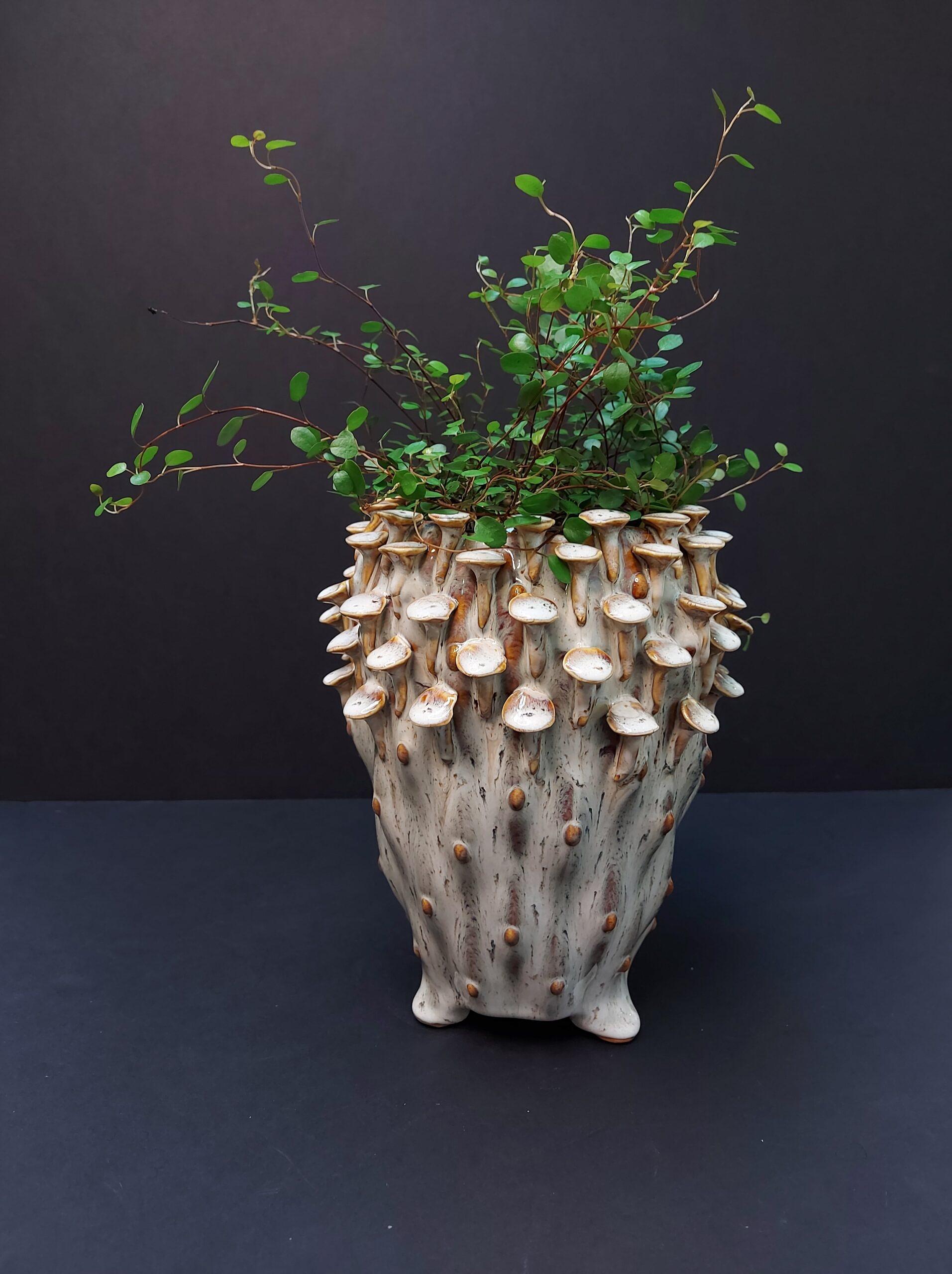 paprastoji draikūnė, miulenbekija, kambariniai augalai, kambarinės gėlės, kambariniai augalai Vilniuje, augalai internetu