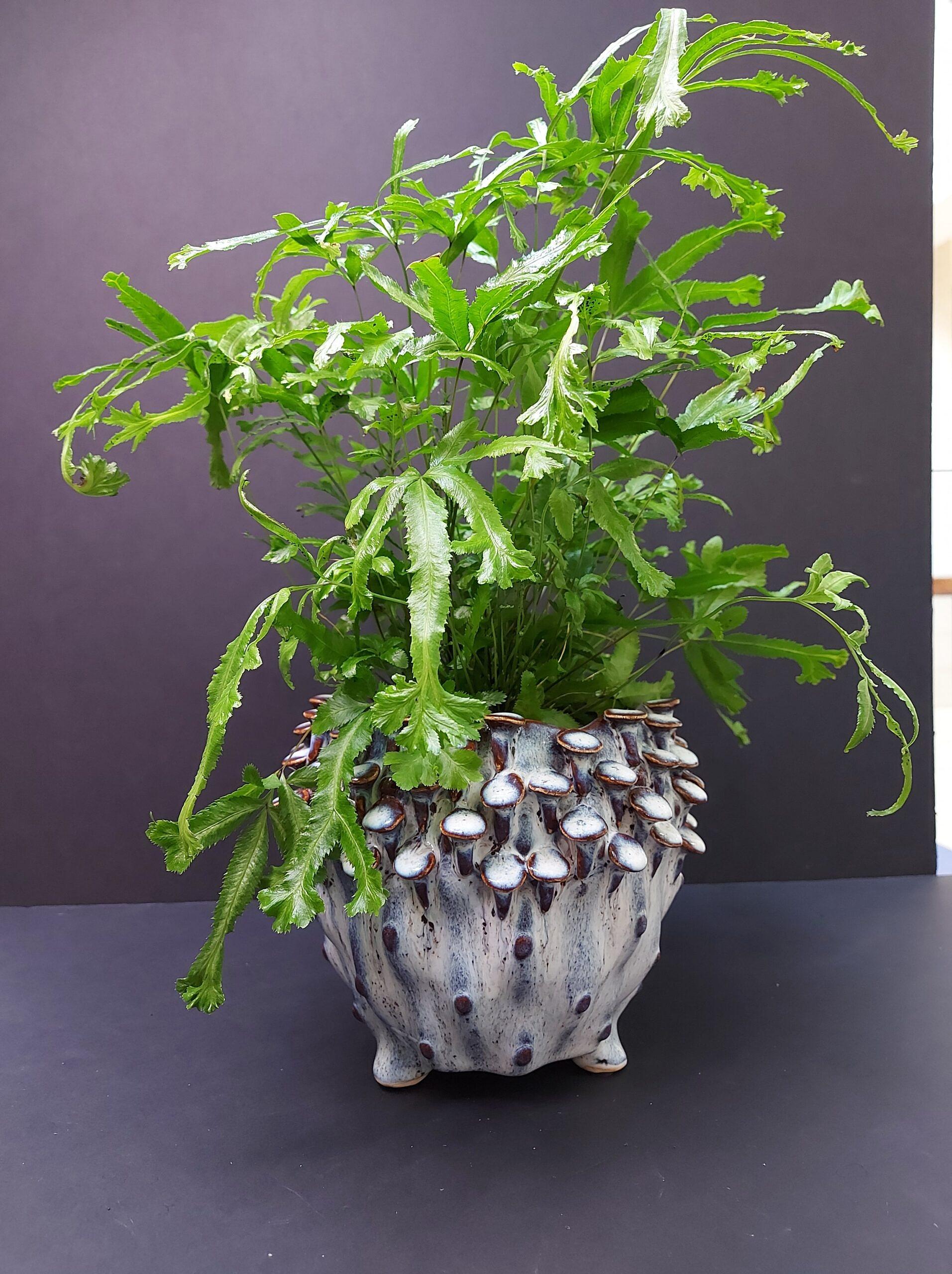 pteris, papartis, augalas, kambariniai augalai, kambarinės gėlės, lapiniai augalai, augalai namams, augalai biurui, lengva priežiūra, kambariniai augalai vilniuje