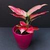 aglaonema, aglaonema pink star, reti augalai, retas augalas, kambariniai augalai, kambarinės gėlės, augalai vilniuje, augalai internetu