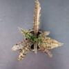 sanesvjera, sansevjera kirkii, augalai, kambariniai augalai, augalai vilniuje, augalai internetu