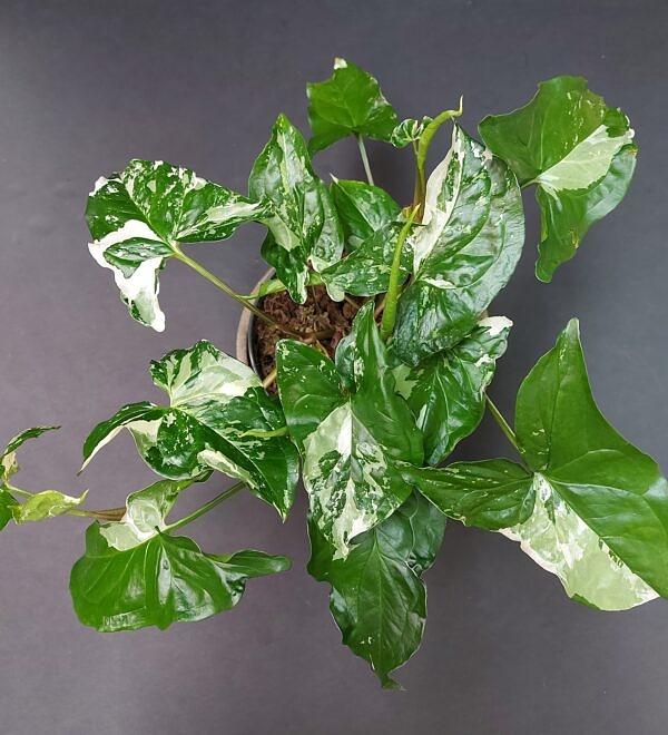 singonis, Syngonium albo variegata marble, lapinis augalas, reti augalai, kambariniai augalai, augalai vilniuje