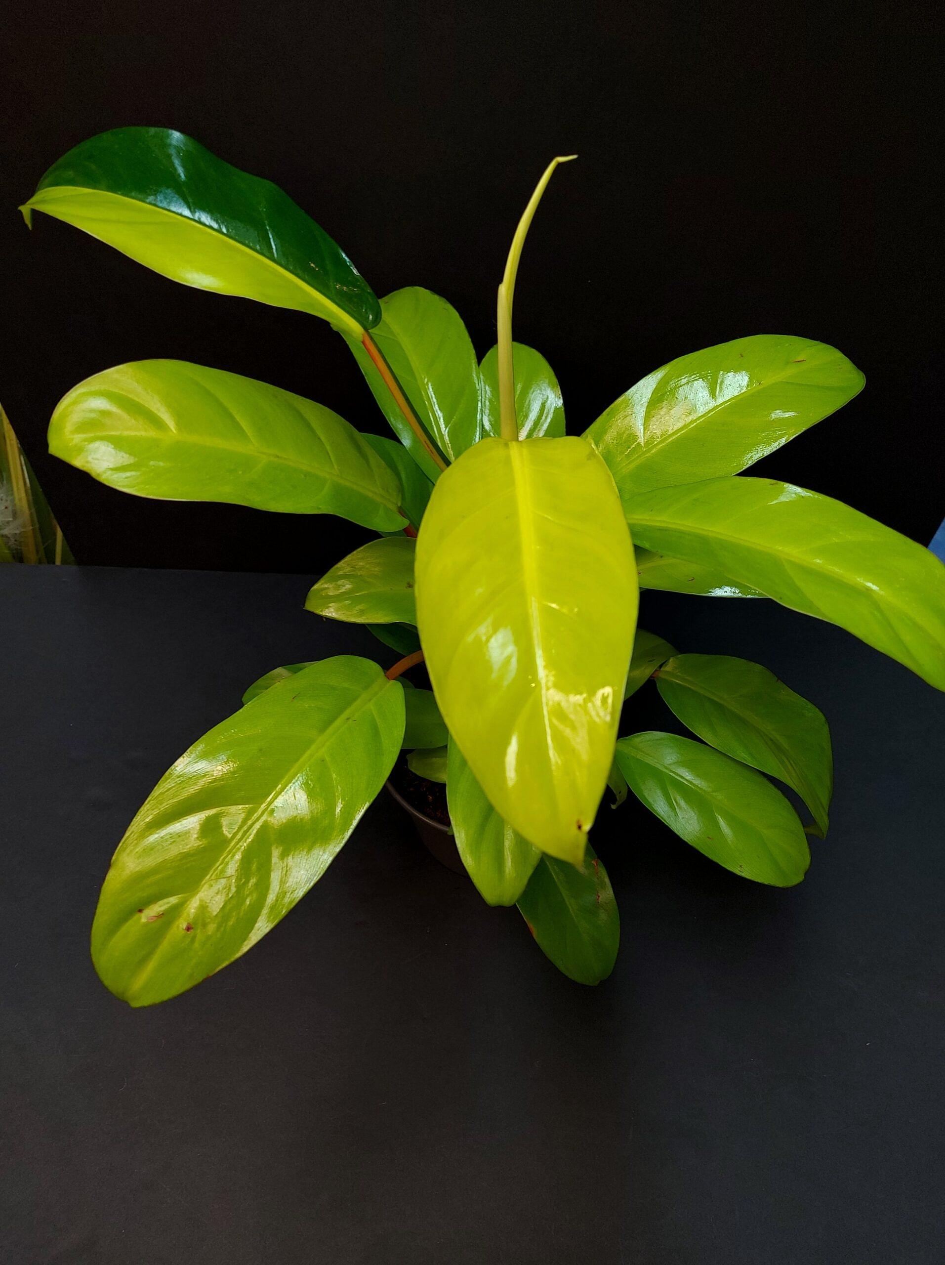 filodendras, kaip priziureti filodendra, philodendrons, filodendras lemon lime, philodendrons lemon lime, kambariniai augalai, augalai vilniuje, augalai internetu