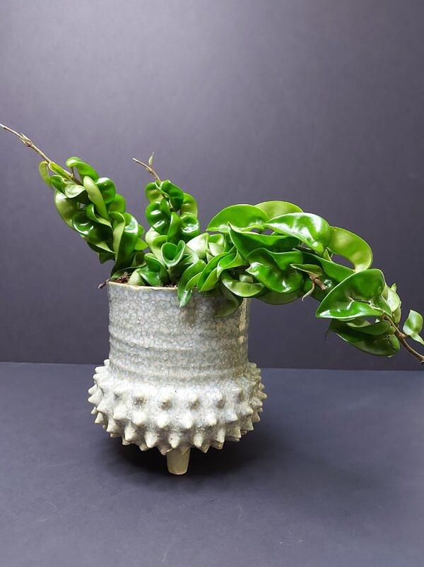 Storalapė vaškuolė, hoya carnosa, sukulentas, storalapis augalas, sukulentinis augalas, sukulentai Vilniuje, kambariniai augalai, kambariniai augalai kaina, kambarinės gėlės, gėlės vilniuje, augalai vilniuje, augalai biurui